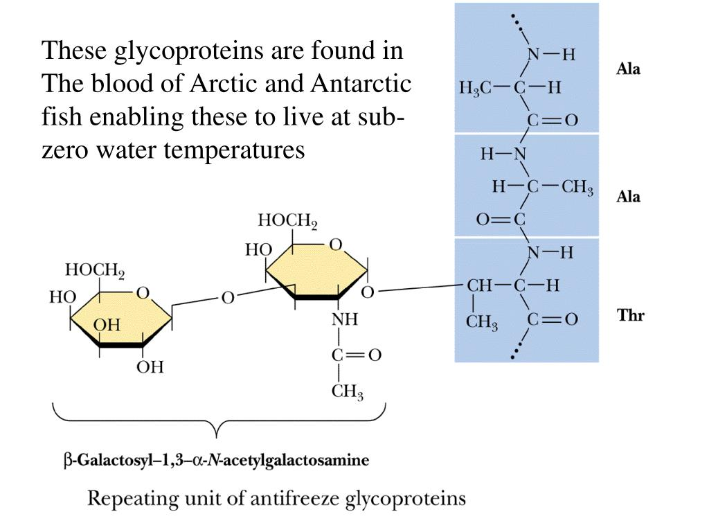 These glycoproteins are found in