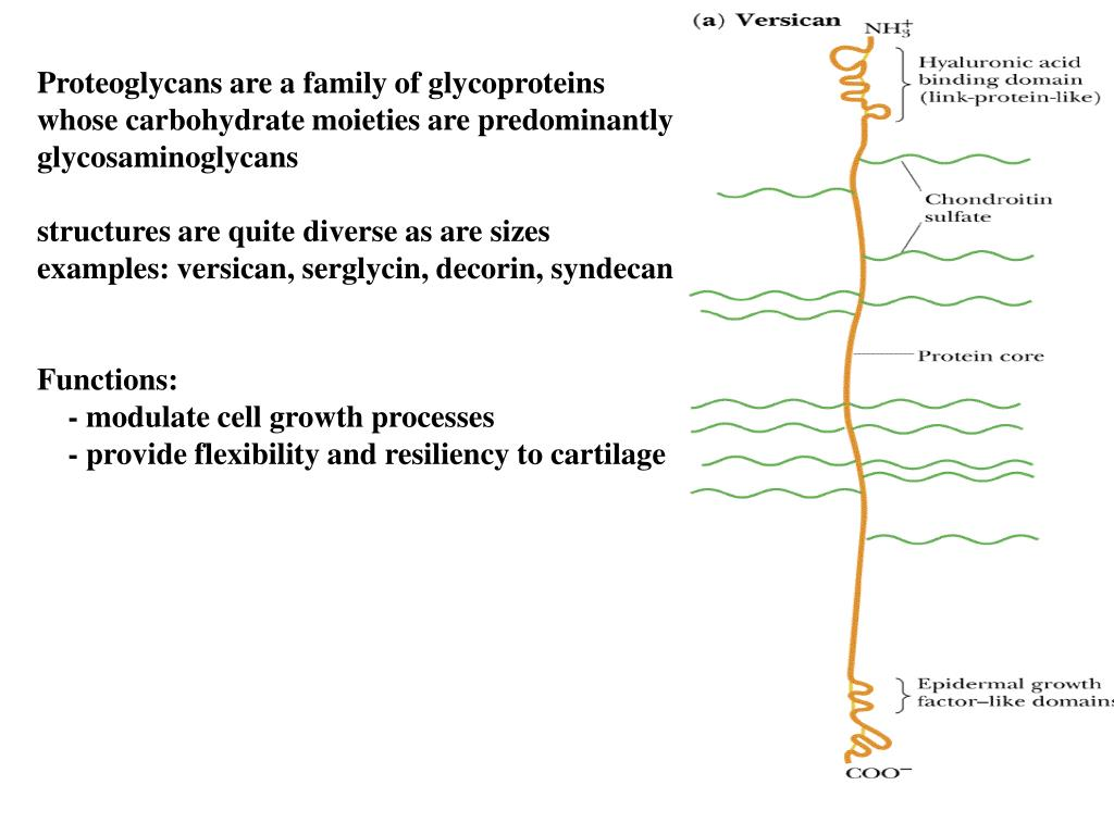 Proteoglycans are a family of glycoproteins