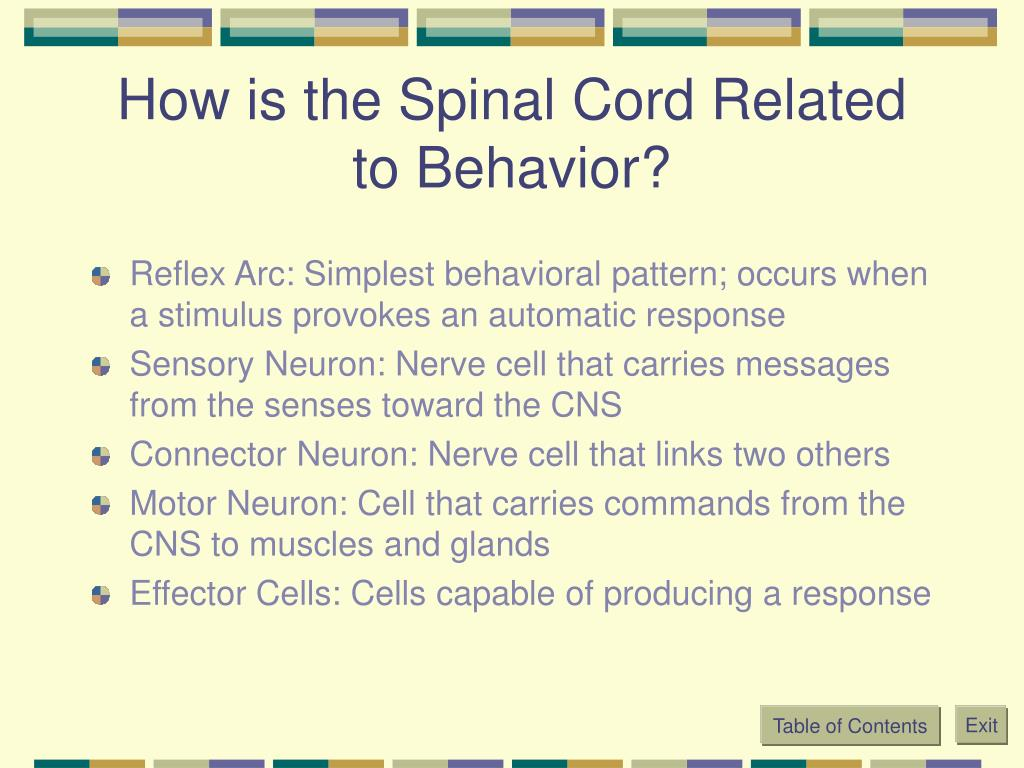 How is the Spinal Cord Related to Behavior?