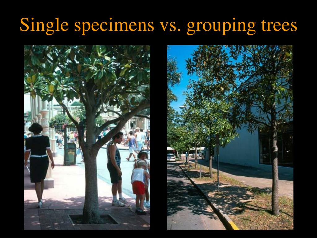 Single specimens vs. grouping trees