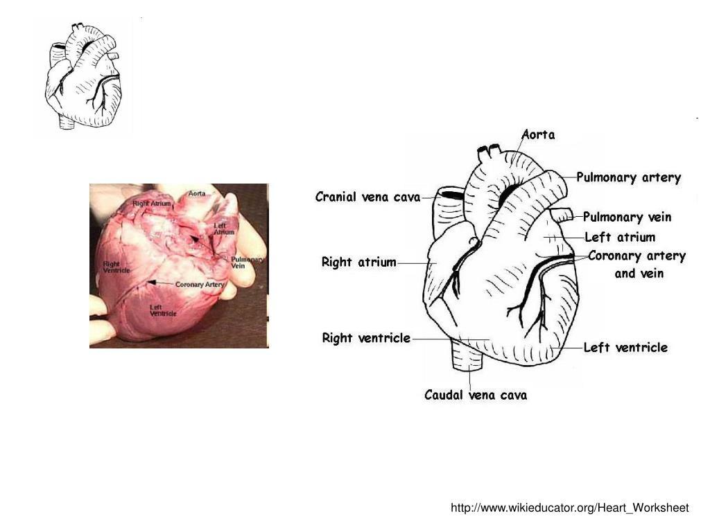 http://www.wikieducator.org/Heart_Worksheet