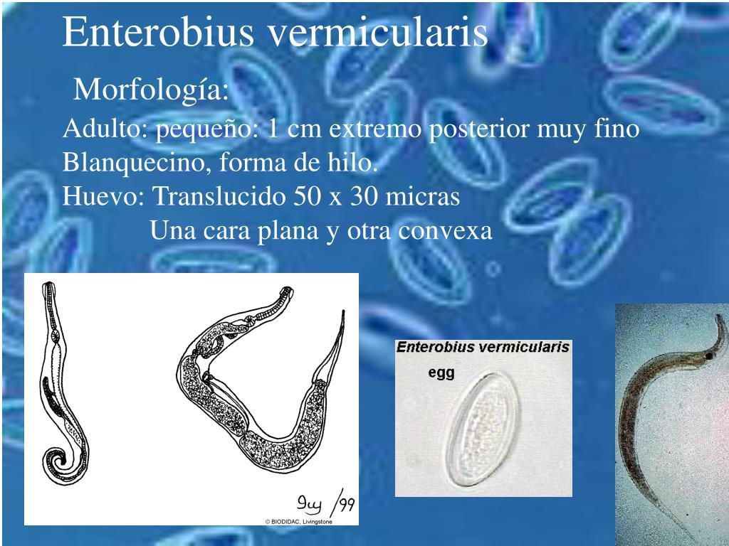 enterobius vermicularis formas)