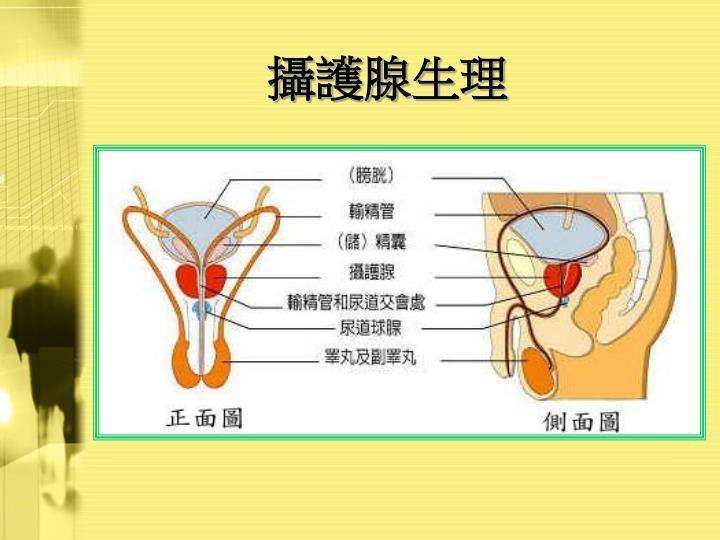 攝護腺生理