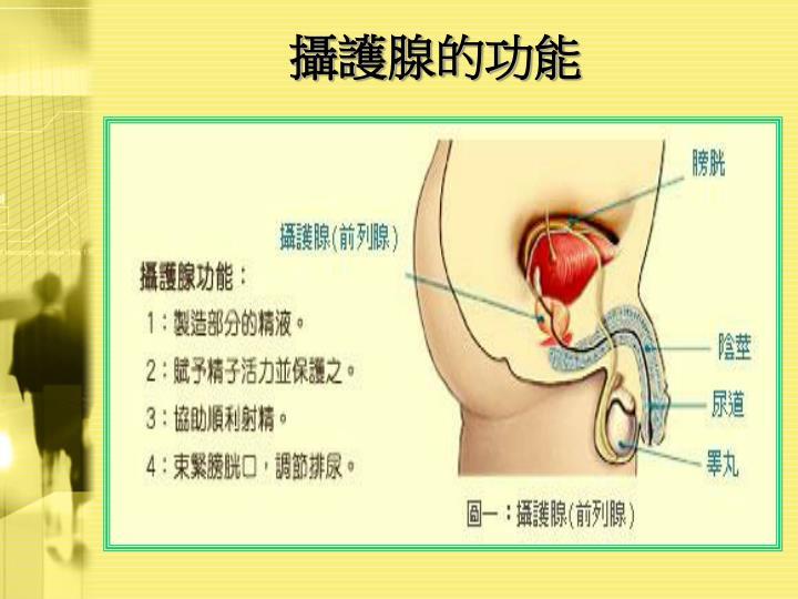 攝護腺的功能