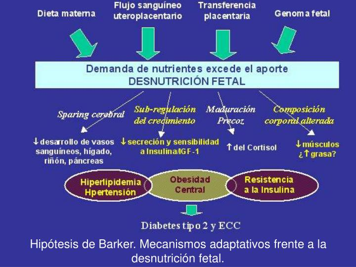 Hipótesis de Barker. Mecanismos adaptativos frente a la desnutrición fetal.