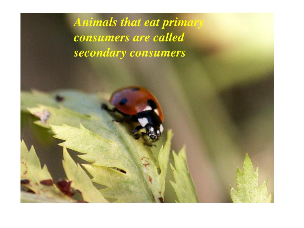 Animals that eat primary consumers are called secondary consumers