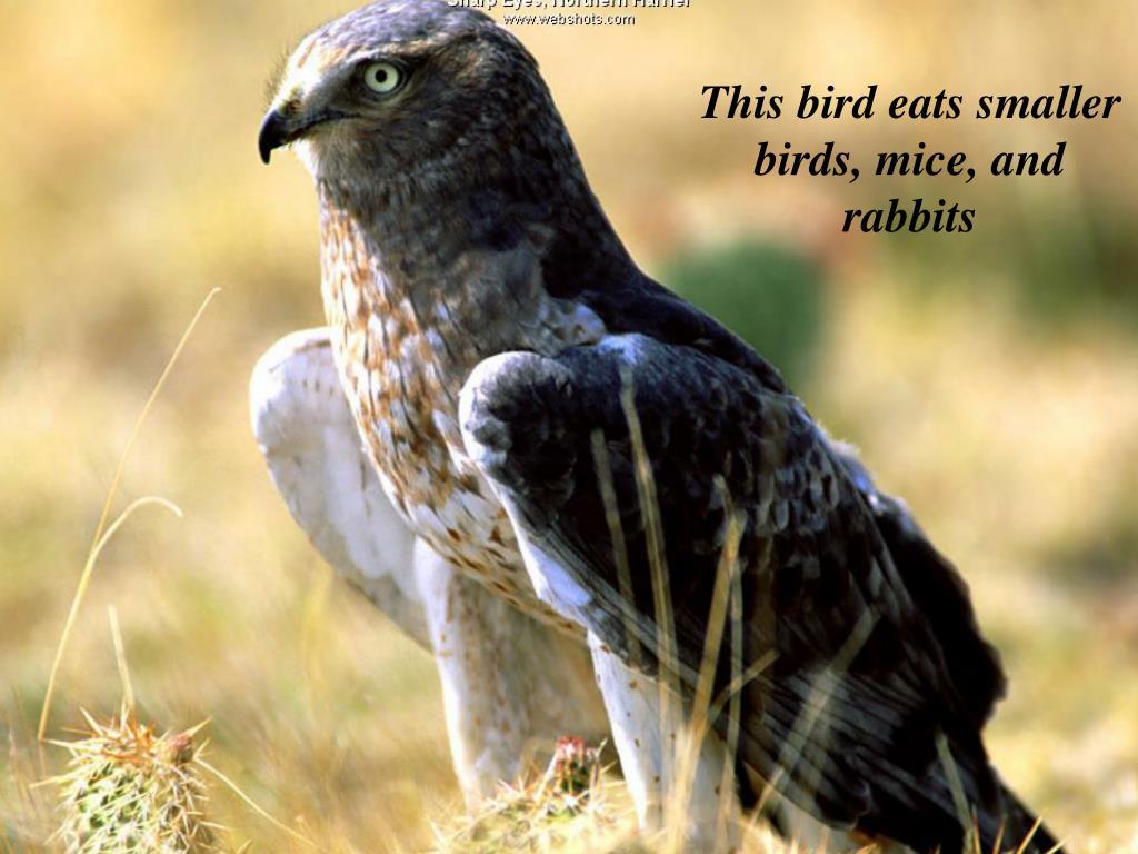 This bird eats smaller birds, mice, and rabbits