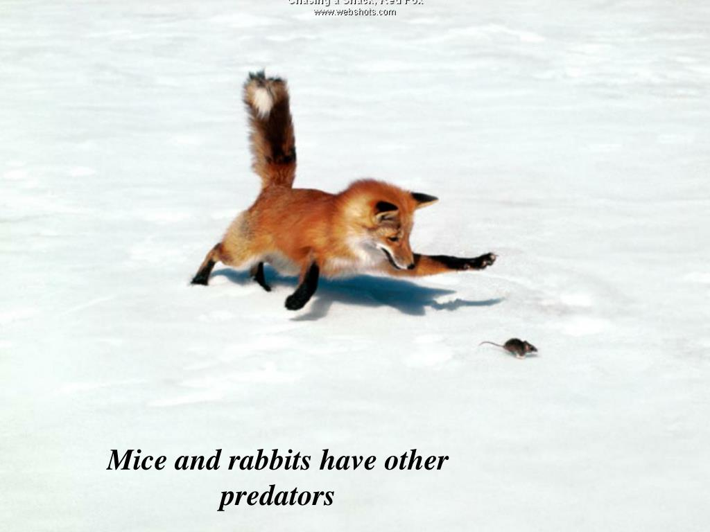 Mice and rabbits have other predators