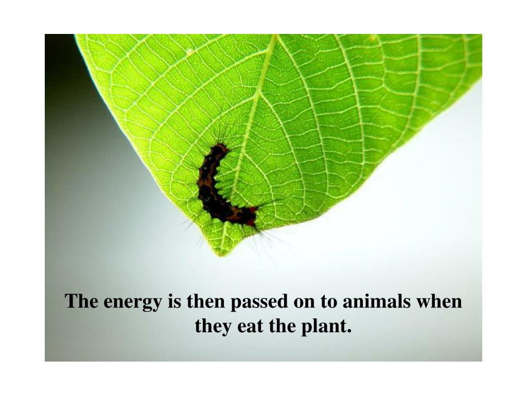 The energy is then passed on to animals when they eat the plant.