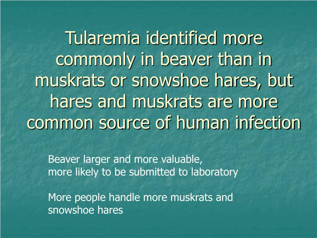 Tularemia identified more commonly in beaver than in muskrats or snowshoe hares, but hares and muskrats are more common source of human infection