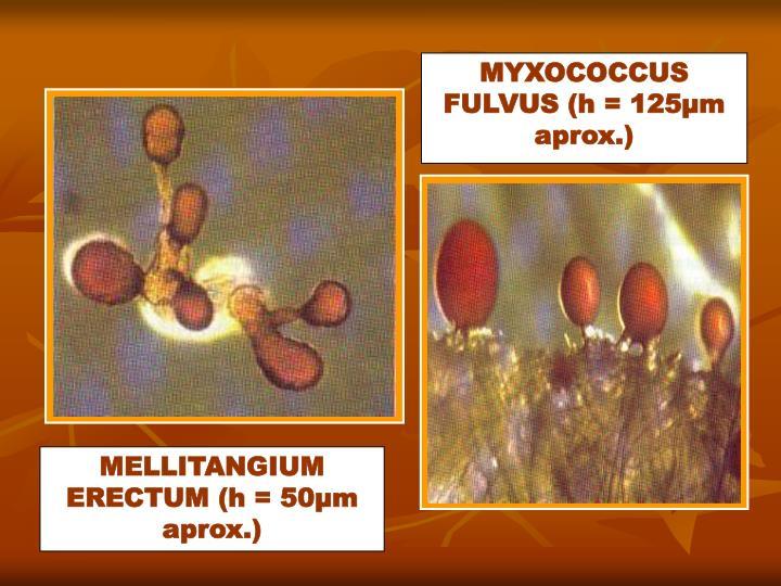 MYXOCOCCUS FULVUS (h = 125µm aprox.)