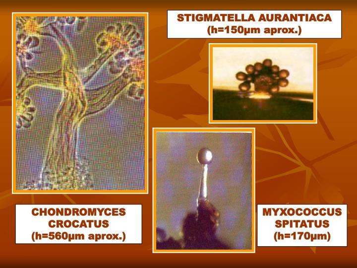 STIGMATELLA AURANTIACA (h=150µm aprox.)