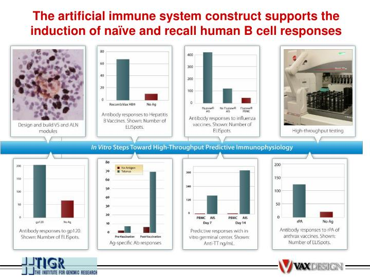The artificial immune system construct supports the induction of naïve and recall human B cell responses