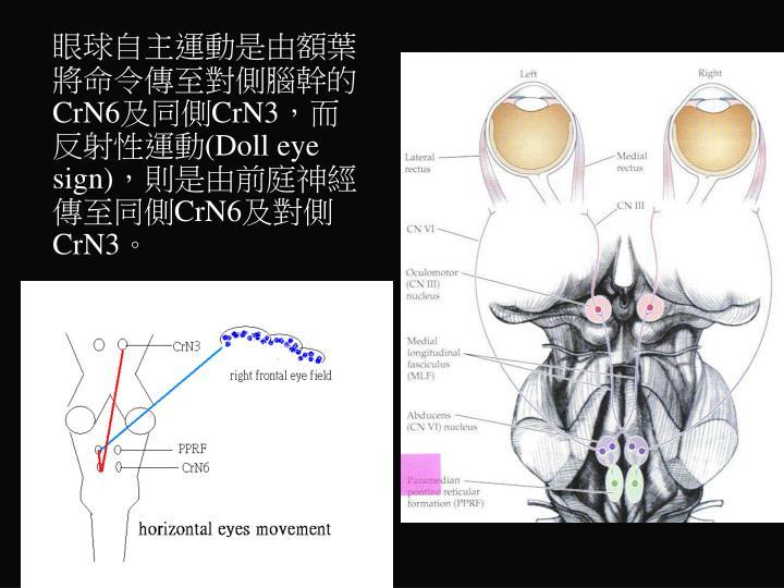 眼球自主運動是由額葉將命令傳至對側腦幹的