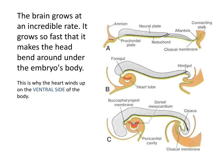 The brain grows at an incredible rate. It grows so fast that it makes the head bend around under the embryo's body.