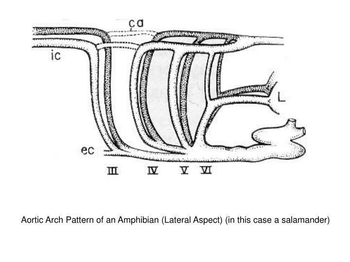 Aortic Arch Pattern of an Amphibian (Lateral Aspect) (in this case a salamander)