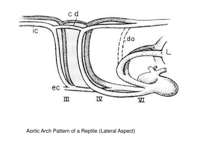 Aortic Arch Pattern of a Reptile (Lateral Aspect)