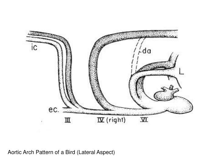 Aortic Arch Pattern of a Bird (Lateral Aspect)