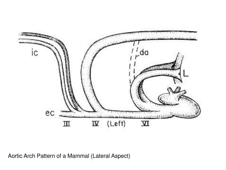 Aortic Arch Pattern of a Mammal (Lateral Aspect)
