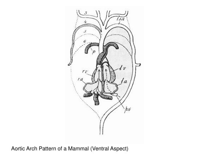 Aortic Arch Pattern of a Mammal (Ventral Aspect)