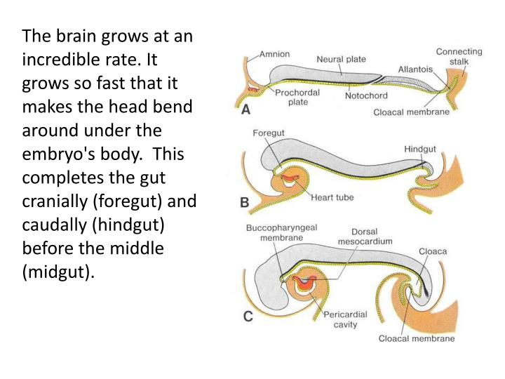 The brain grows at an incredible rate. It grows so fast that it makes the head bend around under the embryo's body.  This completes the gut cranially (foregut) and caudally (hindgut) before the middle (midgut).