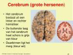 cerebrum grote hersenen