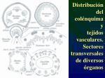 distribuci n del col nquima y tejidos vasculares sectores transversales de diversos rganos