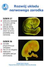 rozw j uk adu nerwowego zarodka2