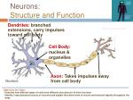 neurons structure and function