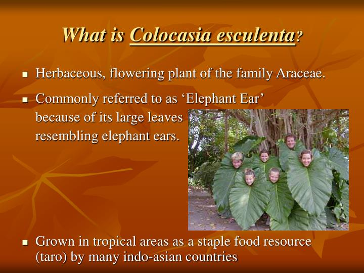 What is colocasia esculenta