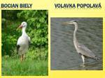 bocian biely volavka popolav