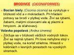 brodivce ciconiiformes