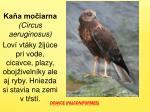dravce falconiformes
