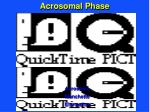 acrosomal phase