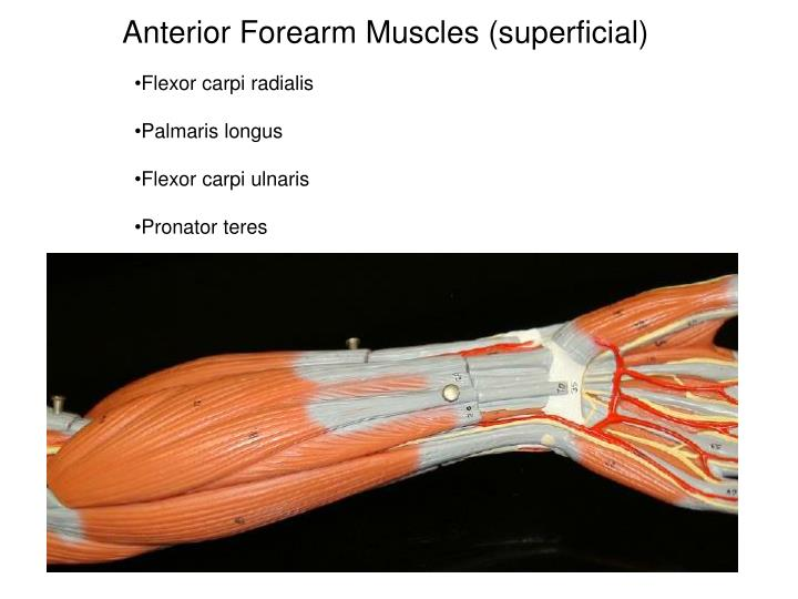 Anterior forearm muscles superficial