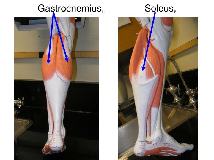 Gastrocnemius,Soleus,