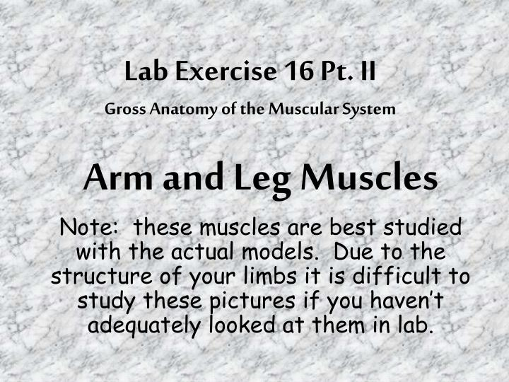 Lab exercise 16 pt ii gross anatomy of the muscular system