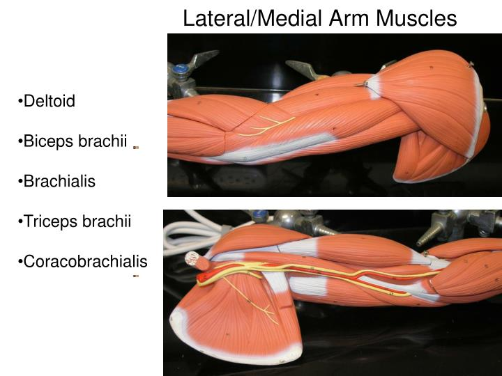 Lateral medial arm muscles