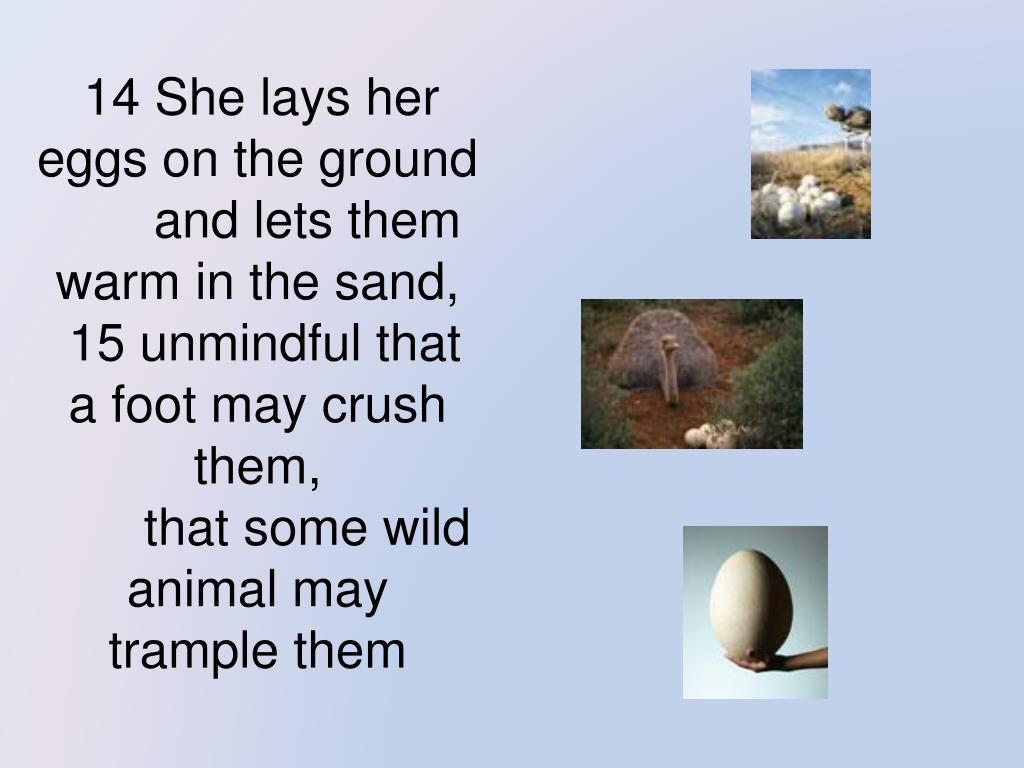 14 She lays her eggs on the ground