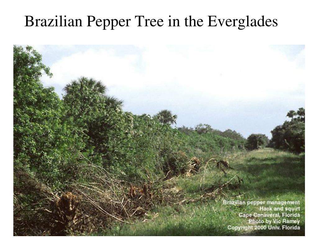 Brazilian Pepper Tree in the Everglades