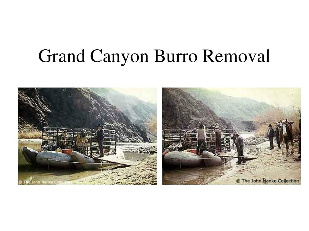 Grand Canyon Burro Removal