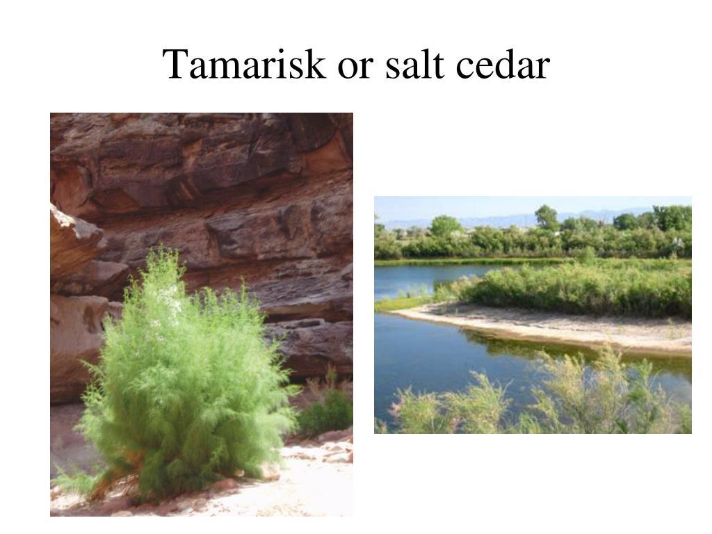 Tamarisk or salt cedar