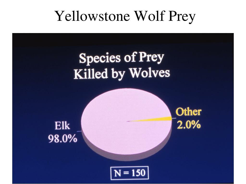 Yellowstone Wolf Prey