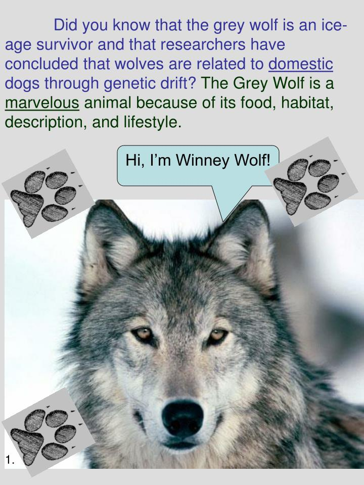 Did you know that the grey wolf is an ice-age survivor and that researchers have concluded that wol...
