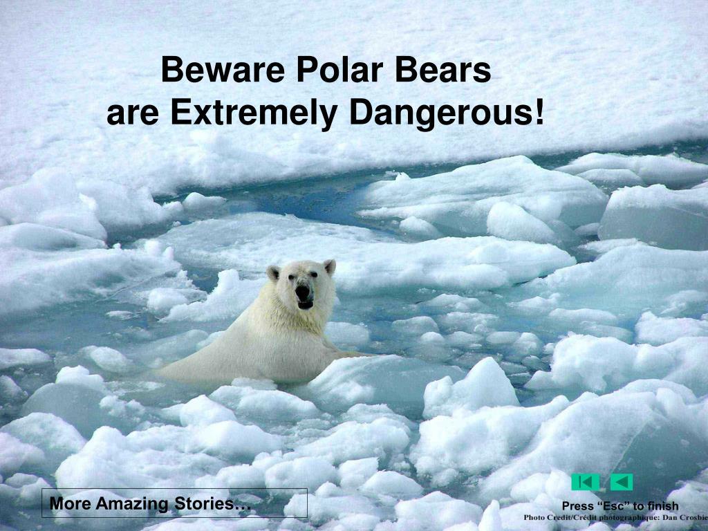 Beware Polar Bears