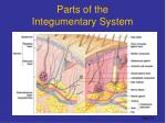 parts of the integumentary system