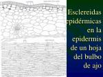 esclereidas epid rmicas en la epidermis de un hoja del bulbo de ajo