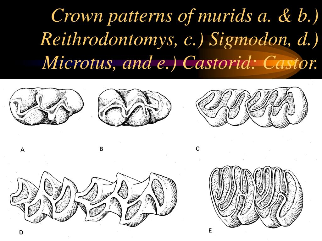 Crown patterns of murids a. & b.) Reithrodontomys, c.) Sigmodon, d.) Microtus, and e.) Castorid: Castor.