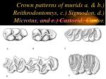 crown patterns of murids a b reithrodontomys c sigmodon d microtus and e castorid castor