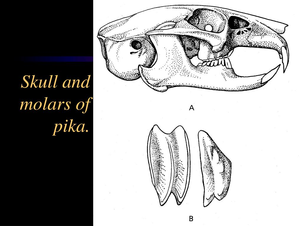 Skull and molars of pika.